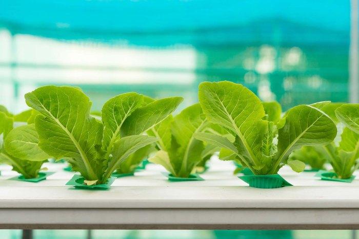 Hydroponics vegetable in farm